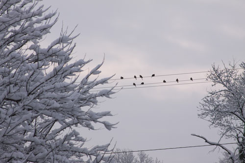 birds on a wire ... in snow