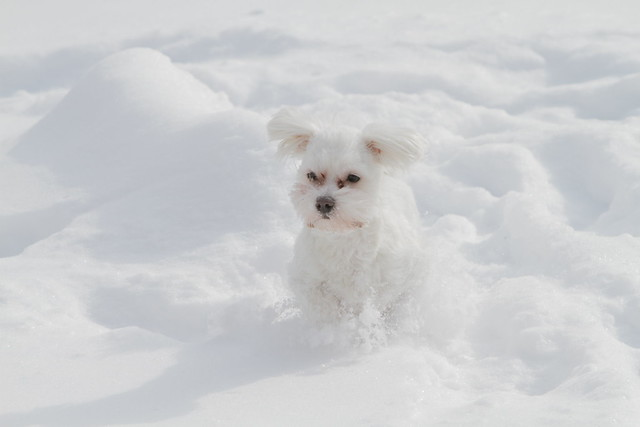 Cute Maltese puppy in the snow