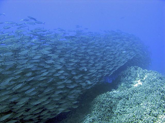 A river of fish big island hawaii flickr photo sharing for Fishing big island hawaii