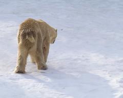 Eisbär Polar Bear