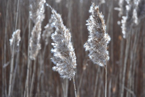 winter sunlight cold grass wind fuzzy seed windy blowing rush february tassel