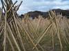 Photo:竹の寒干し - Seasoning bamboos of Takayama // 2010.01.10 - 03 By Tamago Moffle
