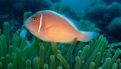 anemone fish(0.0), coral reef(1.0), fish(1.0), coral reef fish(1.0), organism(1.0), marine biology(1.0), underwater(1.0), reef(1.0), sea anemone(1.0),