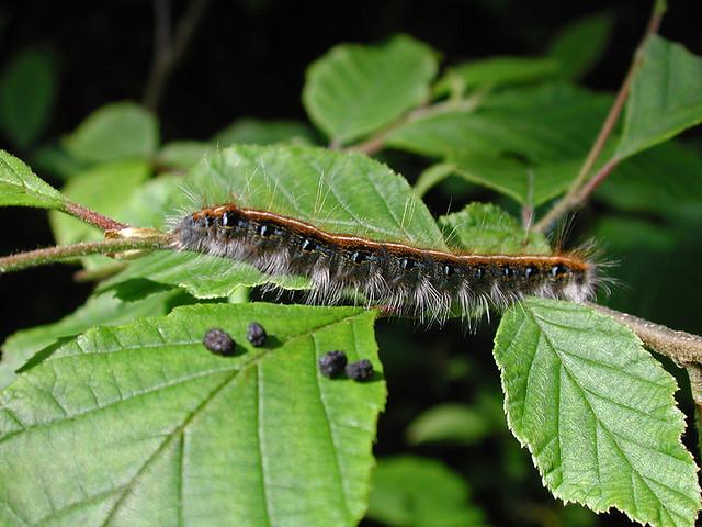 caterpillar at Dismals Canyon