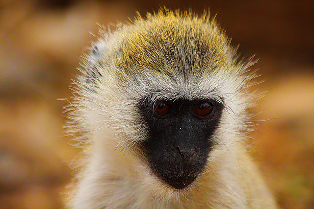Vervet Monkey in the Mara