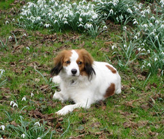 king charles spaniel(0.0), papillon(0.0), dog breed(1.0), animal(1.0), kooikerhondje(1.0), dog(1.0), mammal(1.0), phalã¨ne(1.0), spaniel(1.0), cavalier king charles spaniel(1.0),