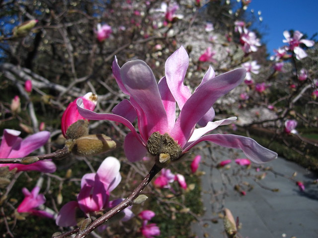 Leonard Messel Magnolia blooms in Magnolia Plaza. Photo by Rebecca Bullene.