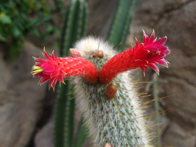 Celistocactus hyalacanthus blooms in the Desert Pavilion. Photo by Rebecca Bullene.