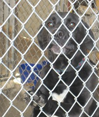 pattern, chain-link fencing, dog, pet, mesh, animal shelter,