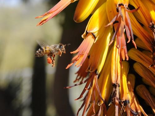 arizona cactus usa flower macro closeup us unitedstates az bee micro scottsdale pollen nikkor pollinate naturesfinest aloeferox capealoe 55mmf35aimicro