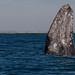 Grey whale (Escrichtius robustus) 12 Feb-10-7569 by tim stenton www.TimtheWhale.com