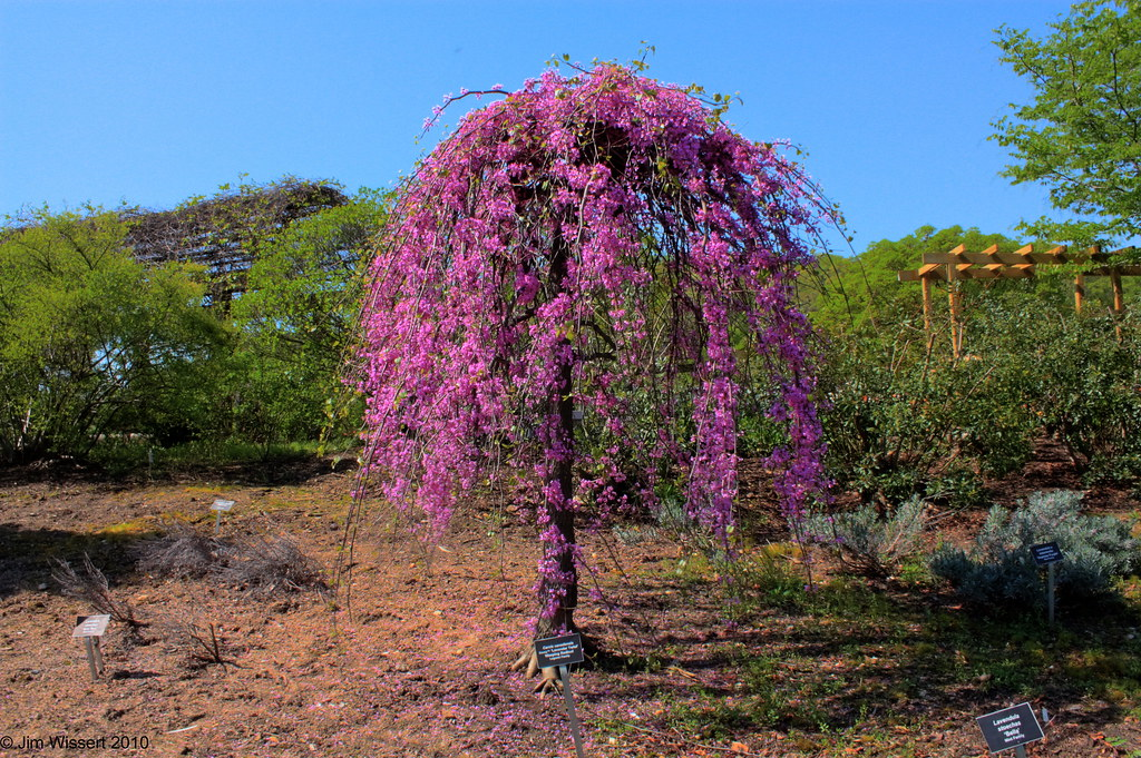 "The Lavender Twist Weeping Redbud(Cercis canadensis) ""Covey"""