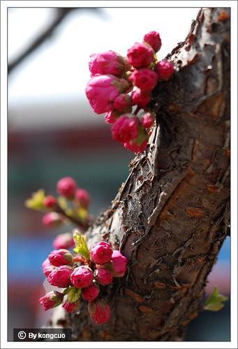 【图】榆叶梅2