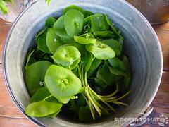 Miners Lettuce Bucket