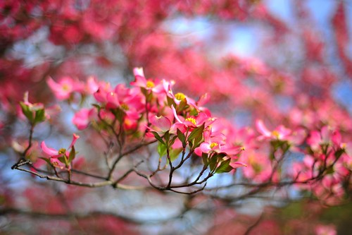 Dogwood by Thomas Zachariah McCormick