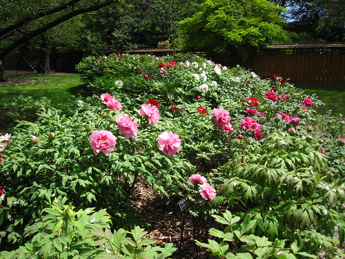 Tree Peonies in bloom