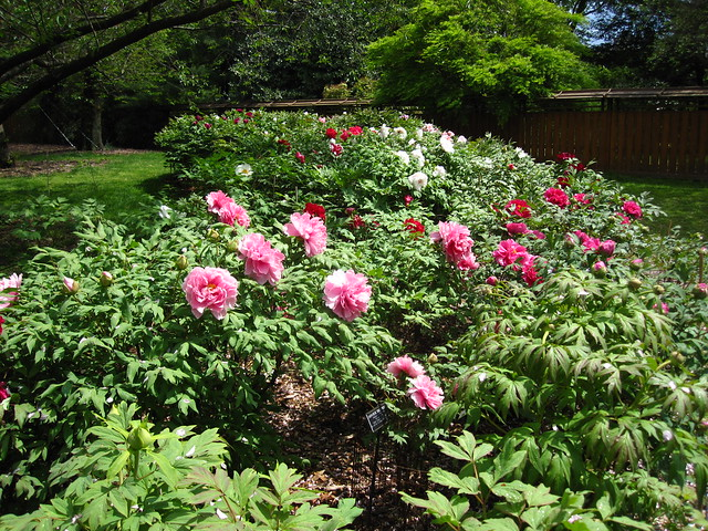 BBG has a collection of over 300 tree peonies (Paeonia suffruticosa) that have all begun to bloom. Perfect timing for Sakura Matsuri this weekend! Photo by Rebecca Bullene