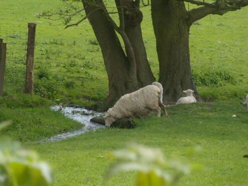 Sheep drinking