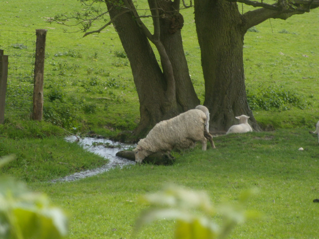 Sheep drinking Hurst Green to Westerham