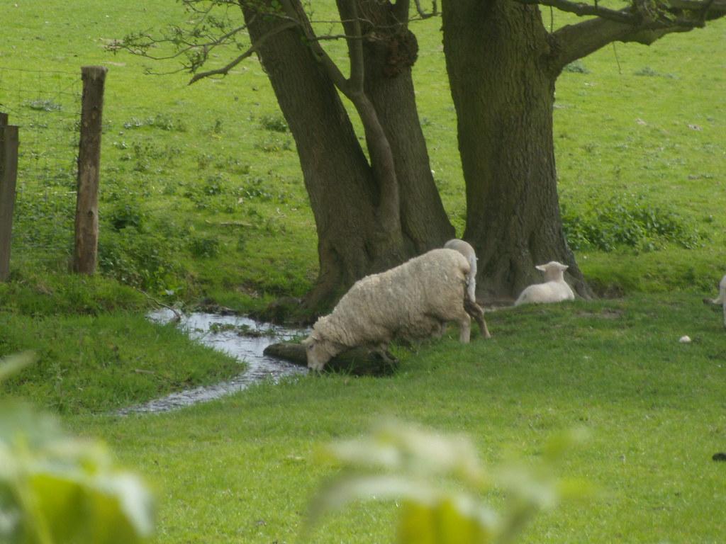 Sheep drinking Hurst Green to Westerham