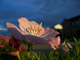 An Evening Primrose Captured In The Evening