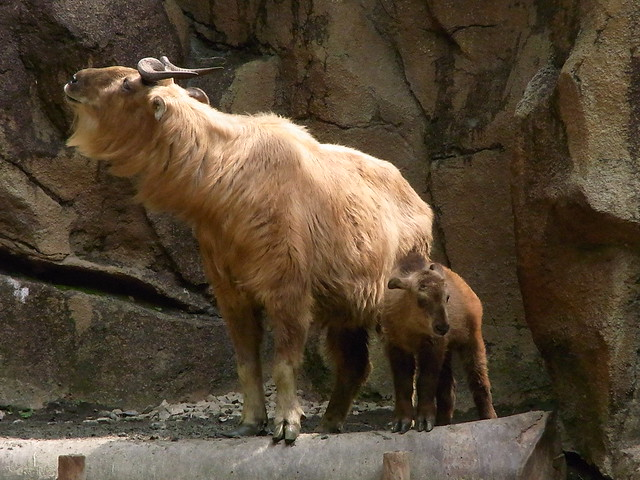 Featured video: gorgeous golden takin caught on camera trap