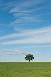 Lone Tree in Green Field with Blue Sky and Clouds