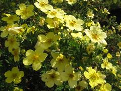 Potentilla fruticosa ´Katherine Dykes´ Bush Cinquefoil