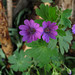 Dove's Foot Cranesbill - Photo (c) flora cyclam, some rights reserved (CC BY-NC-SA)