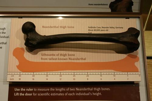 Neanderthal Thigh Bone