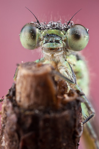 2010 Damselfly Portrait #22