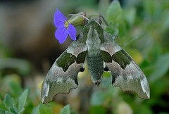 Linde owls dragon moth, unknown