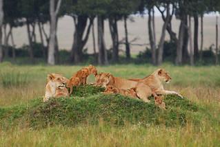 Masai Mara Lion Pride