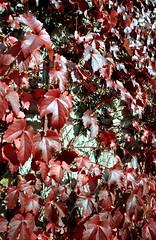 蔦って紅葉するんですよね。 by Noël Café
