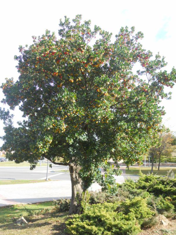 Árbol de madroño en otoño