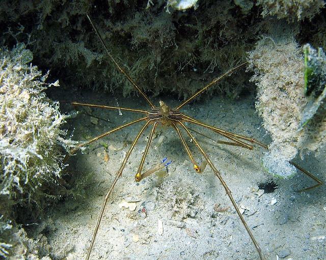 Arrow crab, Vieques Island, Puerto Rico   Flickr - Photo Sharing!