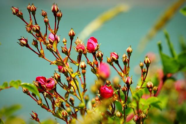 Wild Rosebuds