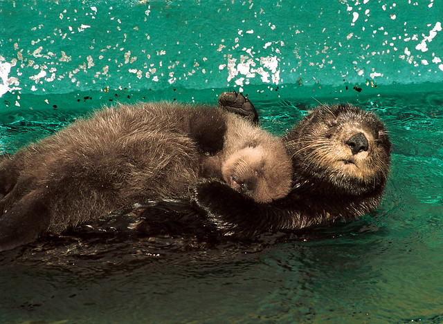 mother and baby otter at seattle aquarium  2002
