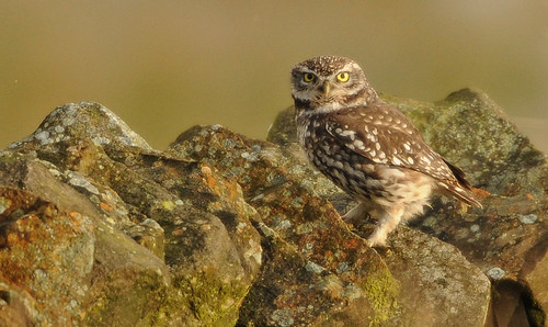 Little Owl on wall