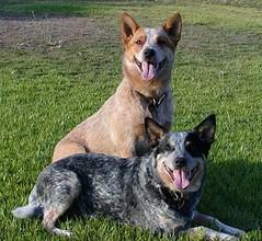 dog breed, animal, dog, australian stumpy tail cattle dog, pet, mammal, australian cattle dog,