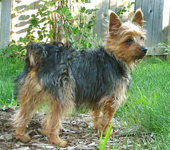 welsh terrier(0.0), yorkshire terrier(0.0), dog breed(1.0), animal(1.0), berger picard(1.0), dog(1.0), pet(1.0), australian silky terrier(1.0), norfolk terrier(1.0), glen of imaal terrier(1.0), vulnerable native breeds(1.0), norwich terrier(1.0), cairn terrier(1.0), australian terrier(1.0), carnivoran(1.0), terrier(1.0),