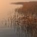 Spartina Sunrise 1 by A Tidewater Gardener