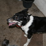Shona the resident dog (Border Collie), Birchanger Farm, Bratton, Westbury, Wiltshire, South West England