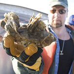 Corps of Engineers restoring oysters in Chesapeake tributaries