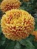 Chrysanthemum Lizzie Dear