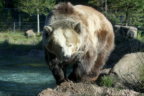 FLgrizzly_bear_w_fish_8509