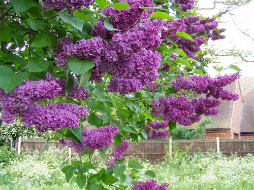 Premium Oregon Purple Lilac