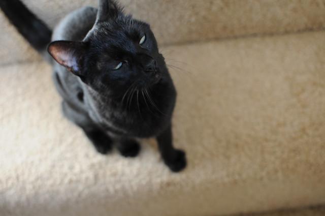 scottish fold kitten breeders