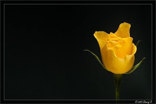 Yellow Rose - Symbol of friendship