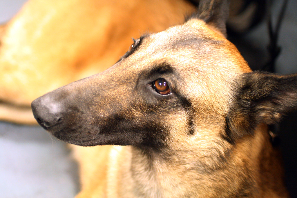 Westminster Dog Show Belgian Malinois
